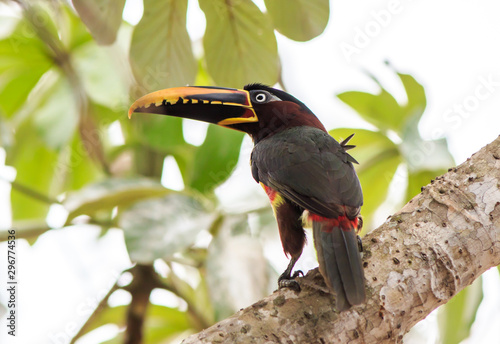 Close-up of a Chestnut-eared Aracari - (Pteroglossus castanotis) - a member of the toucan family Wallpaper Mural