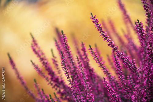 Foto op Aluminium Tuin Common heather, Calluna vulgaris, in full bloom, selective focus and shallow DOF, colors in autumn garden