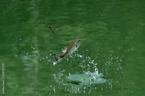 Predazione di pesce Persico trota su libellule Canvas-taulu