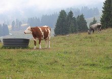 Drinker For Cows In The Meadow