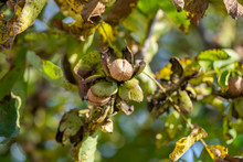 Branch Of Ripe Open Walnuts On...