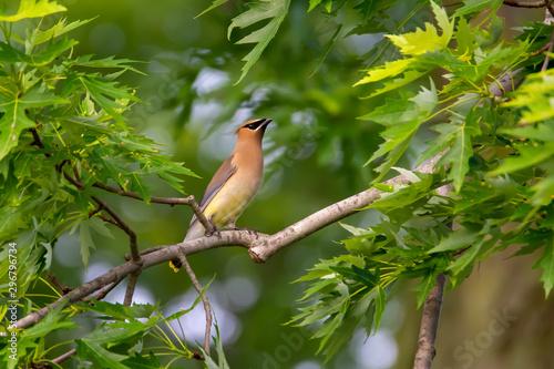 Photo Cedar Waxwing in Tree