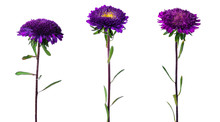 Set Of Three Violet Chinese Aster Isolated On White Background