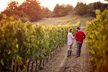 Grapes In A Vineyard.man And W...