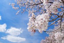 Closeup Cherry Blossoms On Blue Sky Background