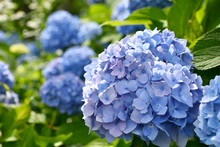 Beautiful Blooming Blue And Purple Hydrangea Or Hortensia Flowers (Hydrangea Macrophylla) Under The Sunlight On Blur Background In Summer.