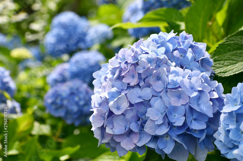 Poster de jardin Hortensia Beautiful blooming blue and purple Hydrangea or Hortensia flowers (Hydrangea macrophylla) under the sunlight on blur background in summer.