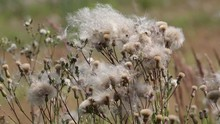 Wind Tears Off Dry Seeds Of Ci...