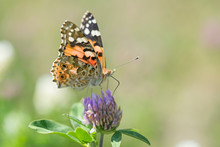 Butterfly Painted Lady (Vanessa Cardui) Closeup, Blurred Background. Butterfly (painted Lady Or Vanessa Cardui) Perched On Flowers.