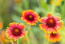 Gorgeous Indian Blanket (Gaillardia Pulchella) Flowers Close-up, Blurred Background