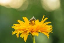 Bee Honey Works On Flower Yell...