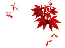 Autumn Leaves. Japanese Red Autumn Maple Tree Leaves Isolated On White Background. Acer Palmatum, Copy Space