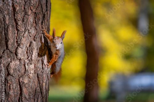 Obraz Wiewiórka w Parku Zwierzynieckim - fototapety do salonu
