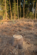 Tree Stumps And Felled Forest. Deforested Area In A Forest With Cutted Trees. Cut Down Trees In Forest On Felling. Tree Stumps On A Continuous Felling. Cut Down Trees In The Forest.