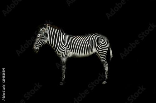 Aluminium Prints Zebra Zebra on black background