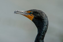 Close Up (blurry Background) Of The Head Of A Double-crested Cormorant (Phalacrocorax Auritus) Along Anhinga Trail In Everglades National Park, Florida, USA