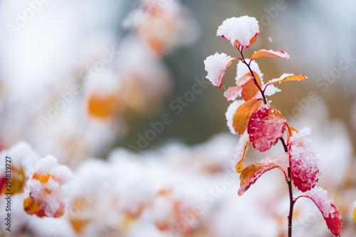 Fotobehang Tuin Birchleaf spirea, Spiraea betulifolia, leaves covered with fresh snow, late autumn snowfall in the garden