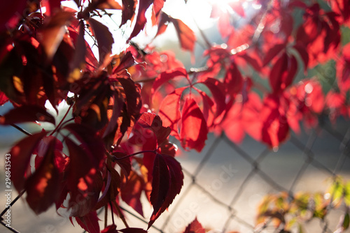 Red leaves of wild grapes. Colorful autumn, bright wild grape background. #296843543