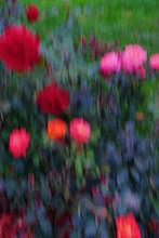 Blurred Roses On Rosebush