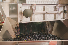 Red Grapes In Wine Press, Port...