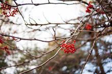 Rowanberry On Tree