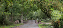 New Forest Ponies Roaming Freely On The Road Near Burley In The New Forest, Hampshire, UK