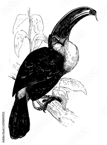 Ariel Toucan, vintage illustration. Canvas Print