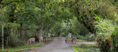Fototapeta New forest ponies roaming freely on the road near Burley in the New Forest, Hamp