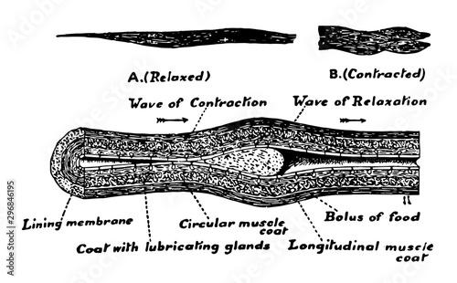 Human Esophagus, vintage illustration Canvas Print