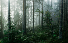 Gloomy Forest Covered With Mist