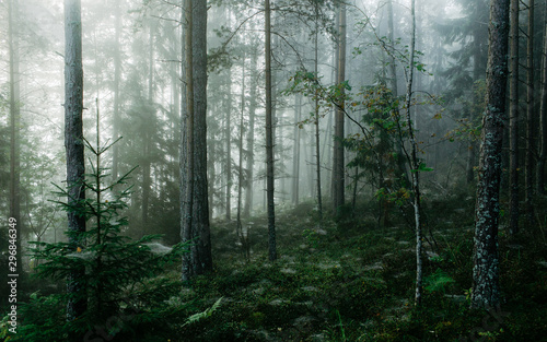 Gloomy forest covered with mist - 296846349