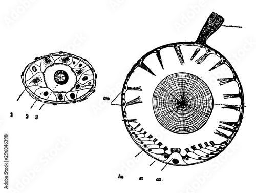 Photo Auditory Organs of Mollusks vintage illustration.