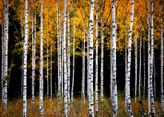 Fototapeta Brzoza Birch Trees