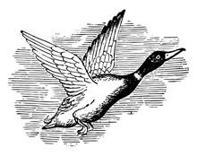 Wild Duck Vintage Illustration.