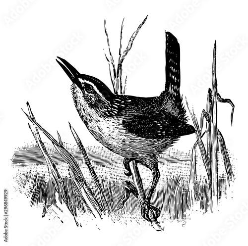 Photo  Marsh Wren vintage illustration.