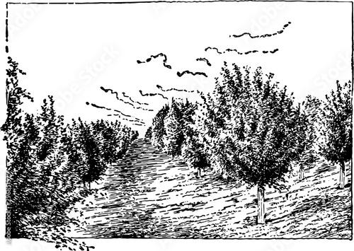 Fotografía  Nebraska Apple Orchard, vintage illustration.