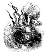 Greater Argonaut Vintage Illustration.