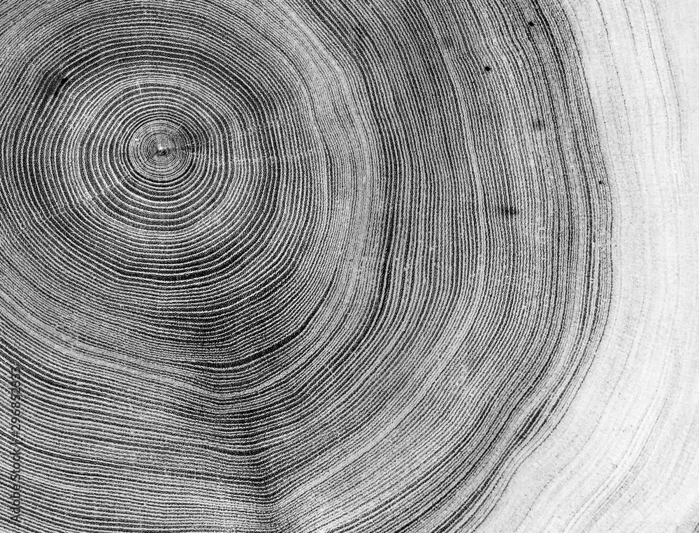 Fototapety, obrazy: Black and white cut wood texture. Detailed black and white texture of a felled tree trunk or stump. Rough organic tree rings with close up of end grain.