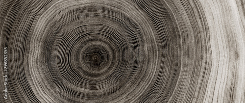 Warm gray cut wood texture. Detailed black and white texture of a felled tree trunk or stump. Rough organic tree rings with close up of end grain. - 296852355
