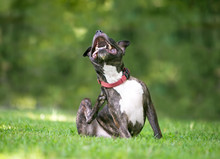 A Brindle And White Pit Bull T...