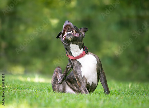 A brindle and white Pit Bull Terrier mixed breed dog sitting outdoors and scratc Wallpaper Mural