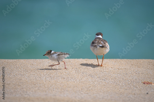 Fotografie, Tablou Hooded plover and chick