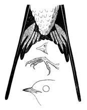 Barn Swallow Details Vintage Illustration.