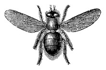 Blue Bottle Fly Vintage Illust...