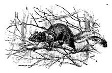 Eastern Gray Squirrel Vintage Illustration.