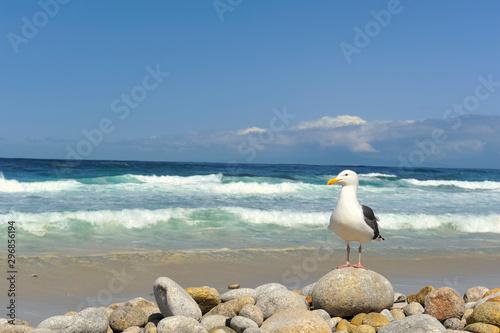 Western gull (laurus occidentalis) perched on rock, California