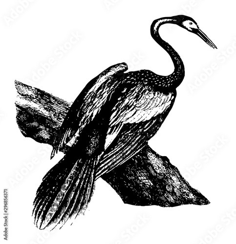 Anhinga vintage illustration. Wallpaper Mural