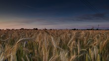 Wide Shot Of A Wheat Field With A Dark Blue Sky In The Background