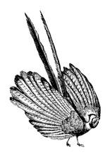 Argus Pheasant Vintage Illustration.