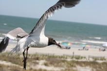 Sea Gull Flying Over Folly Beach